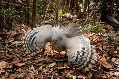 ニューカレドニアの国鳥カグー