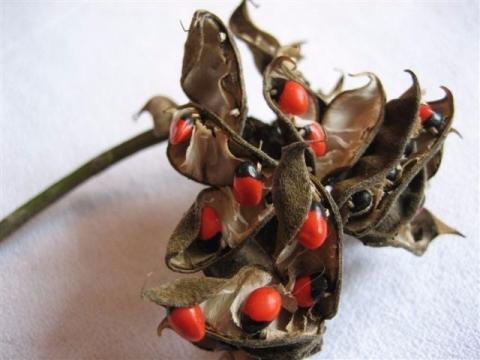 南米ペルー幸運の木の実ワイルーロ