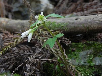 蕨山不明植物