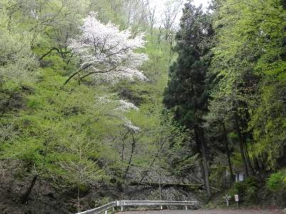 ウノタワ入口の山桜