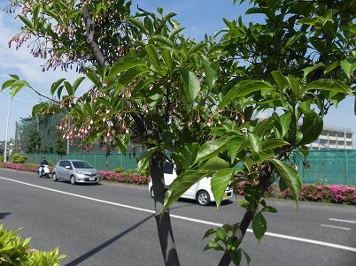 エゴノキ 芋窪街道
