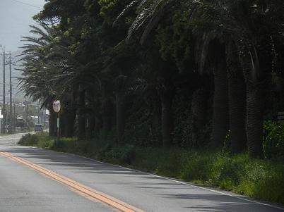 名伊良湖街路樹