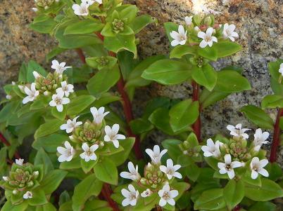 名伊良湖植物2