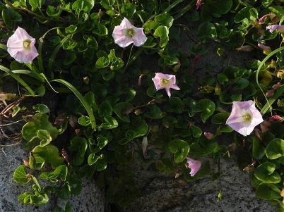 名伊良湖植物3