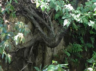 玉川ど根性木
