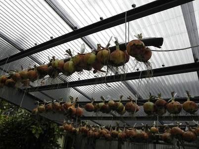 家庭玉ねぎの収穫