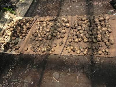 家ジャガイモの収穫
