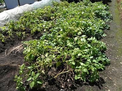 家ジャガイモの苗