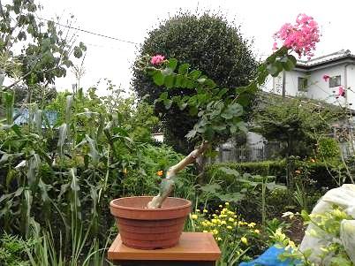 庭サルスベリ盆栽