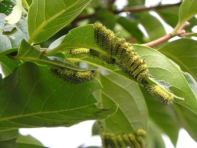 庭柿の毛虫