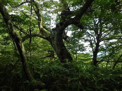 奥ダテカンバ巨木