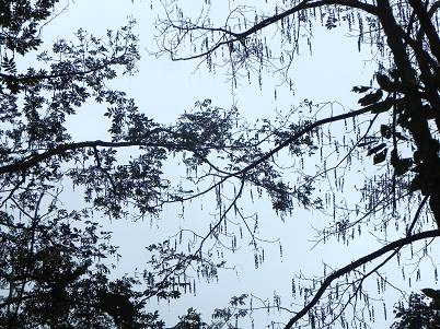 ウシオジの落葉