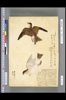 梅園禽譜「雲雀」
