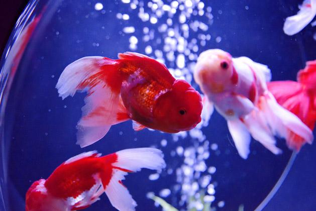 初めて見た種類の金魚
