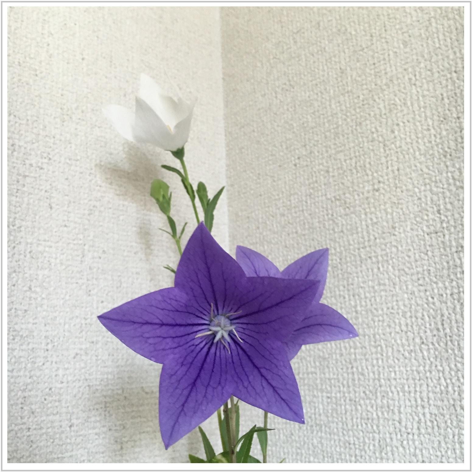 kikyo_7_721.jpg