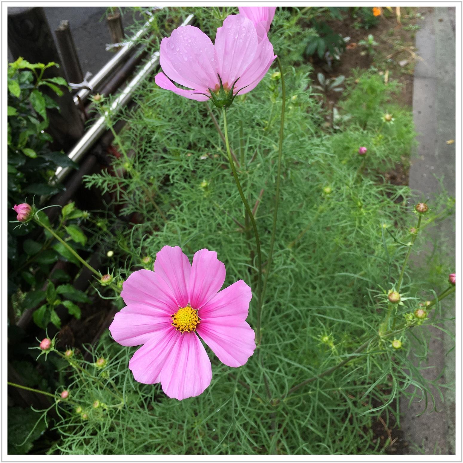 kosumosu_2_720.jpg