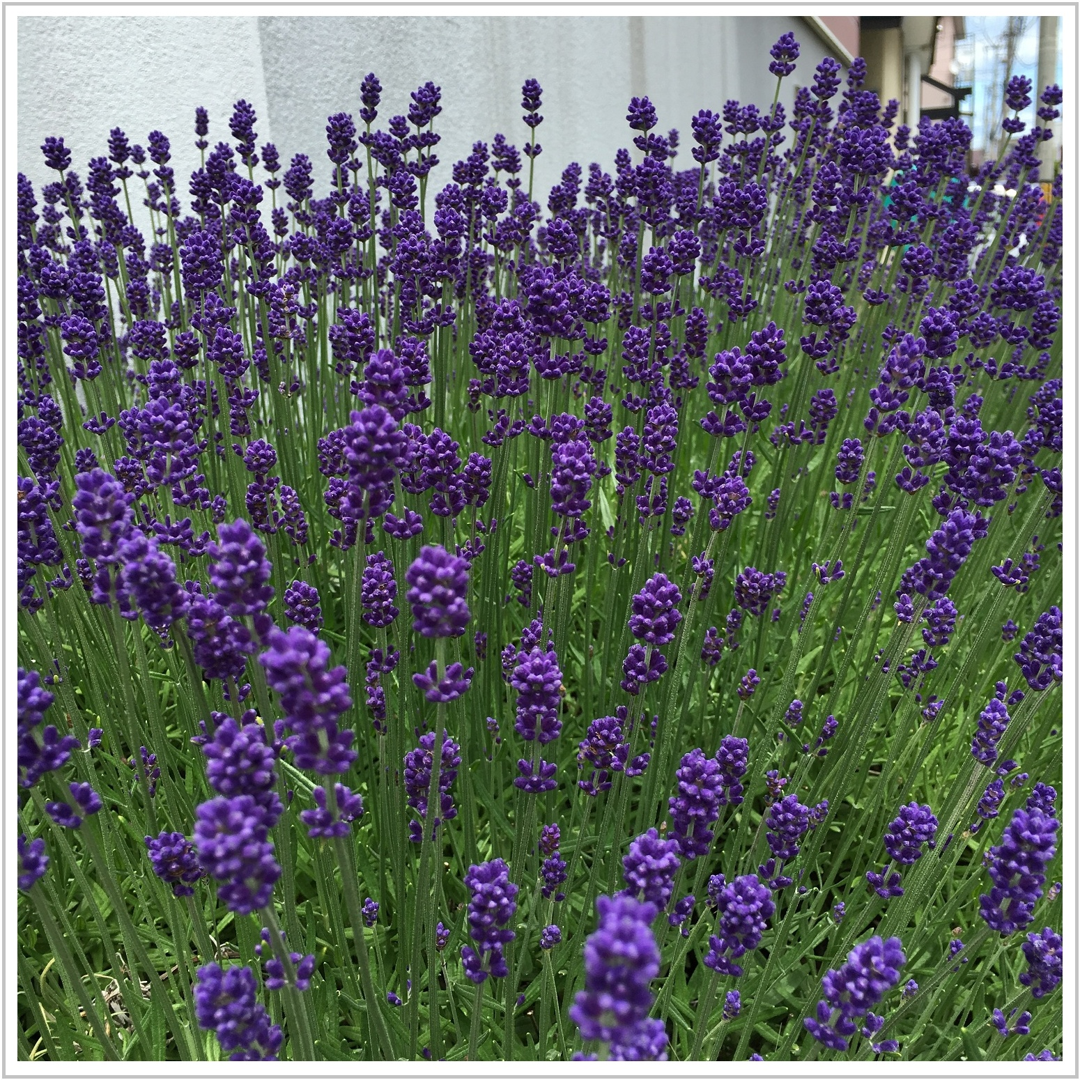 lavender_3_624.jpg