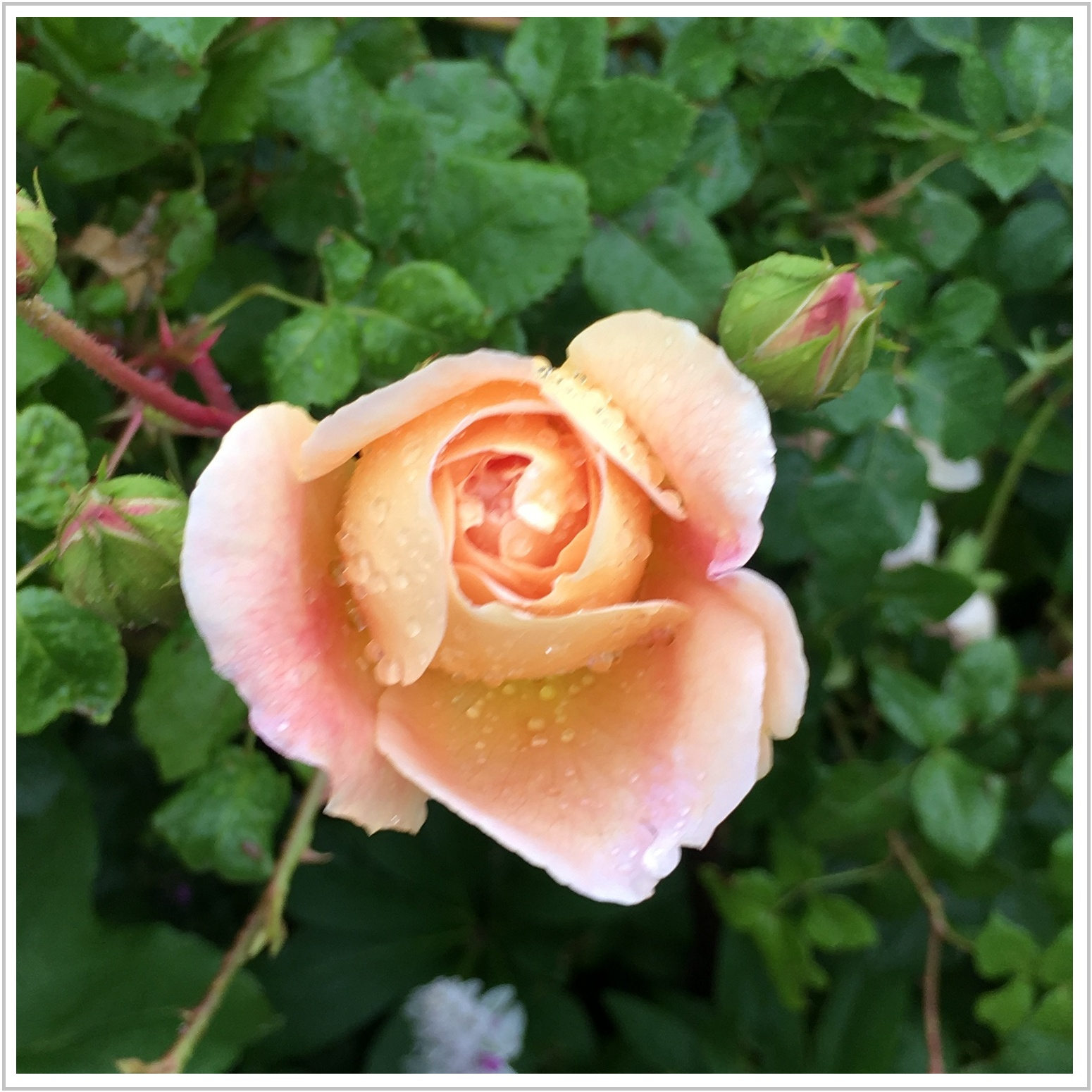 rose_5_623.jpg