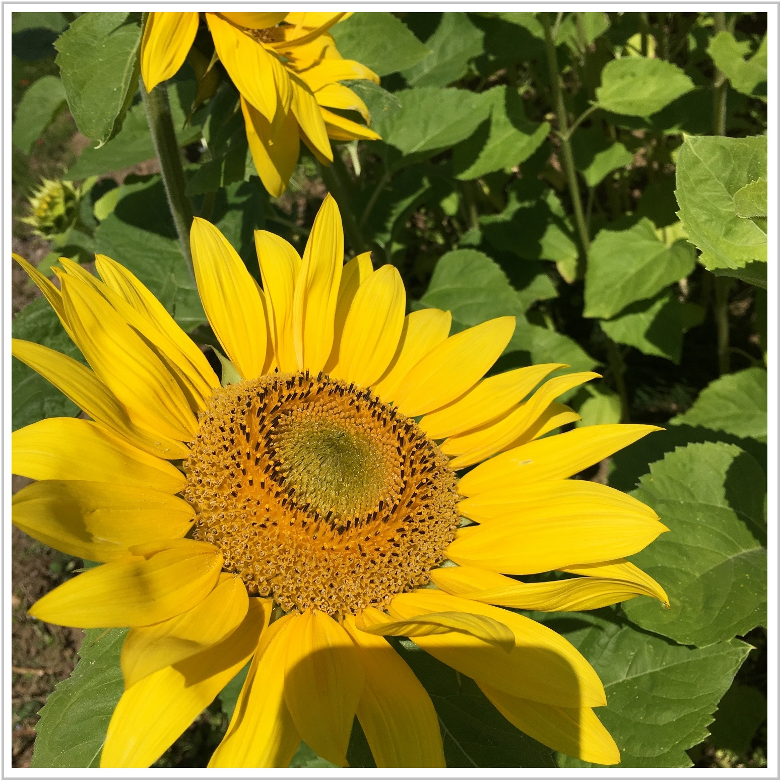 sunflower_5_708.jpg