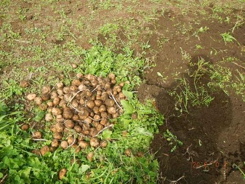 種芋 (2)