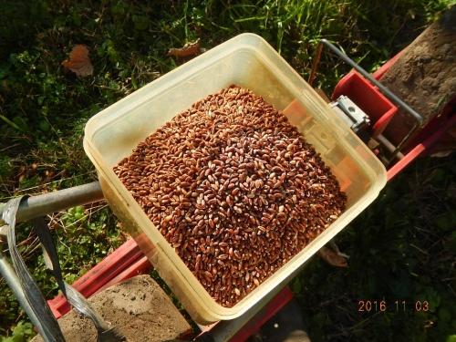 麦播種作業 (3)