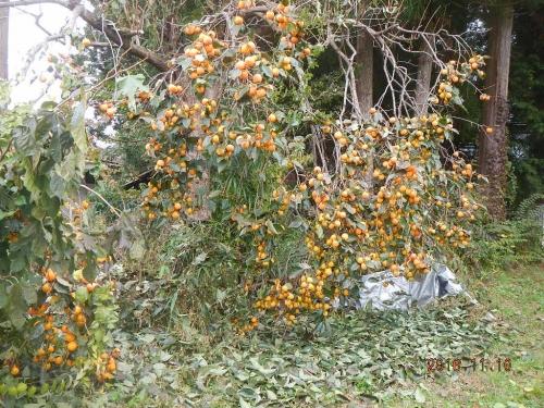 柿 (1)