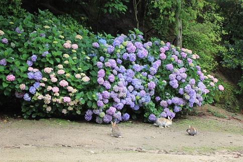 うさと紫陽花