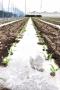 ①トウモロコシ発芽