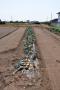玉葱収穫_1