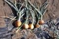 玉葱収穫_2