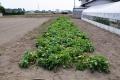 ジャガイモの収穫_1