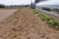 ジャガイモの収穫_2