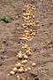 ジャガイモの収穫_3