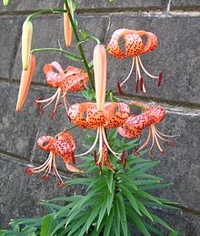 220px-Lilium_lancifolium.jpg