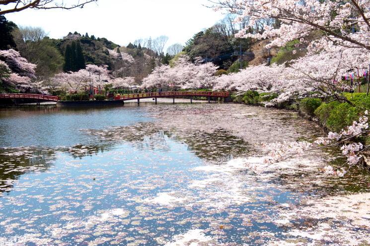 chiba-mobara-kouennosakura-11-2-m.jpg