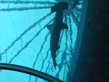 トンカチ鮫