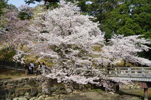 奈良公園の桜2016年