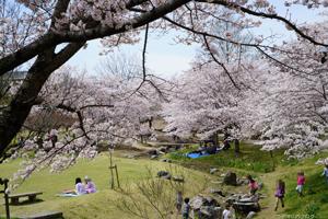 けいはんな公園の桜2016
