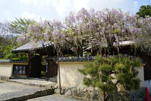 當麻寺の牡丹2016