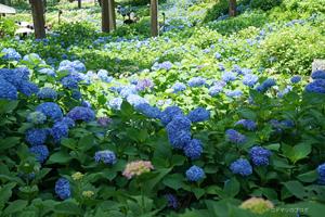 三室戸寺の紫陽花2016