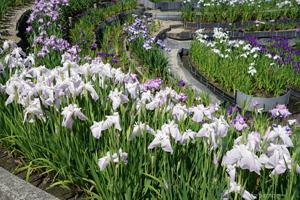 紫陽花と菖蒲を見になばなの里へ