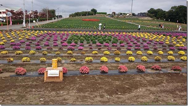小菊の里、開花状況 (H28/10/19)