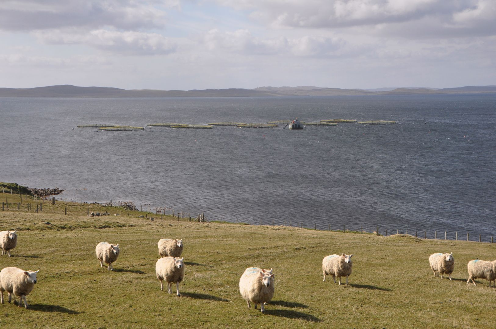 sea and sheep