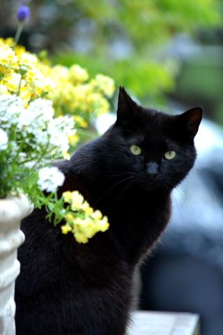 黒猫にんにん