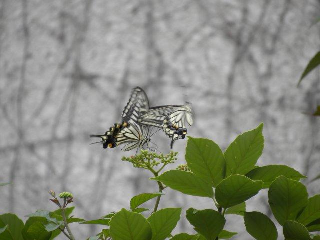 DSCN4945アゲハチョウ