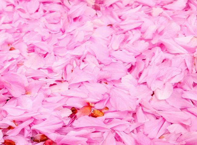 sakuraの花びら