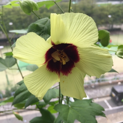 161005綿の花