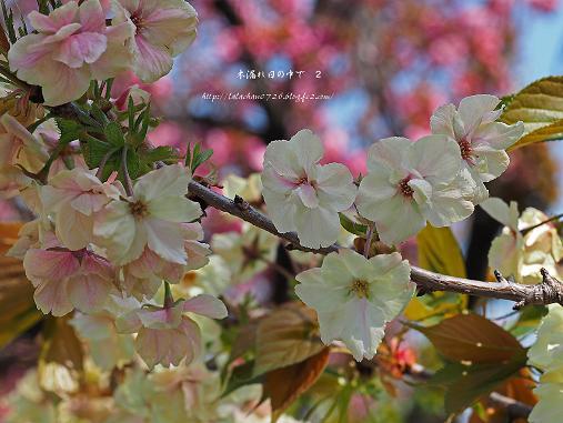 八重さくら桜2