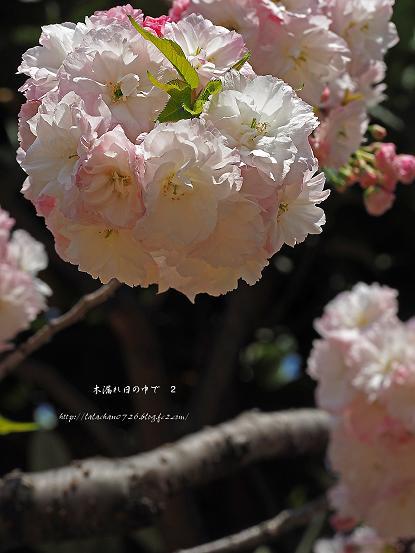 八重桜うすぴんく