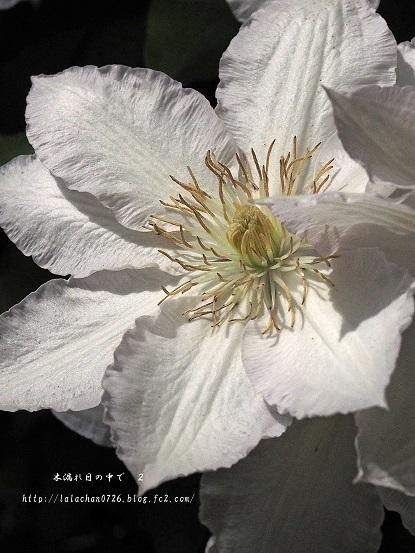 白いクレマ